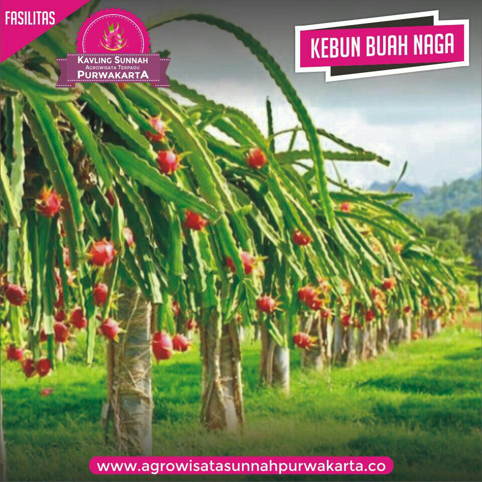 kebun-buah-naga-kavling-sunnah-purwakarta-2.jpg