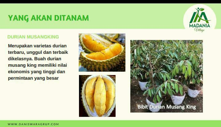 durian di madania village
