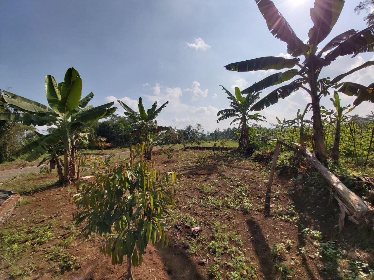 kebun durian tasikmalaya